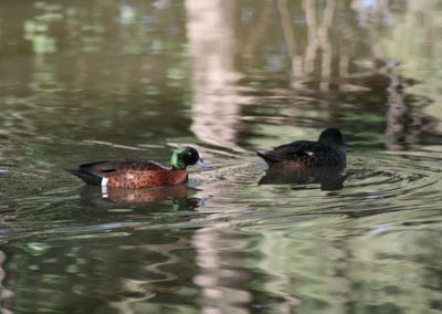 Chestnut-Teal-Ducks